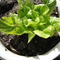 Re-grow lettuce from store bought Hydroponic living lettuce